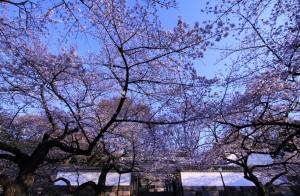 桜開花2014