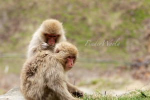 野生の猿を間近で見れる地獄谷野猿公苑
